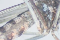 Sp анофелесов Личинка москита в воде для образования стоковые фотографии rf