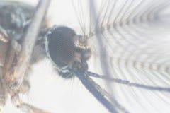Sp анофелесов Личинка москита в воде для образования стоковое изображение