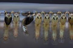 Sp анофелесов Личинка москита в воде для образования стоковые изображения
