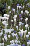 Sp крокуса крокуса Их цвета меняют огромно, хотя сирень стоковые изображения rf