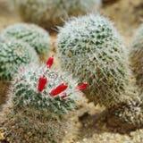 Sp маммиллярии., кактус растет в песке Стоковая Фотография