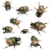 sp скарабея onthophagus жуков стоковое фото