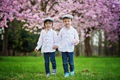 一棵开花的樱桃树的两个可爱的白种人男孩从事园艺, sp 免版税库存图片