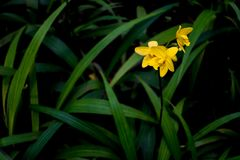 SP amarillo de los spathoglottis Fotografía de archivo
