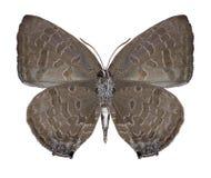 Sp Arhopala бабочки underside стоковые изображения