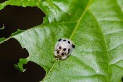Sp Aspidimorpha жука черепахи Стоковые Изображения
