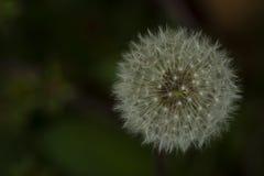 Spławowa Dandelion purchawka Fotografia Stock
