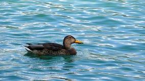 spławowa kaczki woda Obrazy Stock