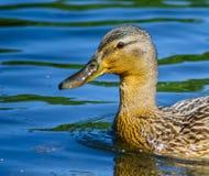 spławowa kaczki woda zdjęcie stock