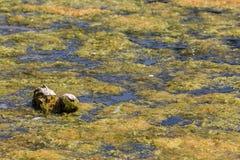 Spławowa masa zielone nitkowe stawowe algi Zdjęcia Royalty Free