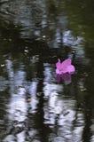 Spławowy azalia kwiat Zdjęcie Stock
