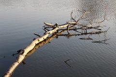 Spławowy brzoza staw Fotografia Stock