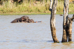 Spławowy hipopotama dziecko, mama & Obrazy Royalty Free