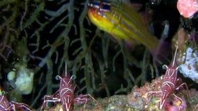sp cardinal Amarelo-listrado de Ostorhinchus dos peixes 1 com camarões do camelo no passo de Lembeh dos corais filme