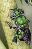 SP de Euglossa - cierre verde de la abeja para arriba Fotos de archivo libres de regalías