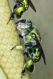 SP de Euglossa - cierre verde de la abeja para arriba Foto de archivo libre de regalías
