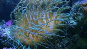 SP de Galaxea , corales pedregosos de los acropids y anemonefish almacen de metraje de vídeo