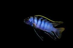 SP de Labidochromis. Mbamba Imagen de archivo