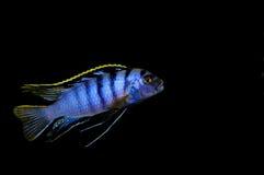 SP de Labidochromis. Mbamba Fotos de archivo