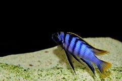 SP de Labidochromis. Mbamba Imágenes de archivo libres de regalías