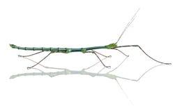 SP de Myronides, insecto de palillo imagen de archivo libre de regalías