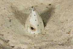 Sp de Ophichthus. - Enguia da serpente enterrada na areia Imagem de Stock Royalty Free