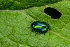 SP de Oreina escarabajo, grossglockner Fotos de archivo libres de regalías
