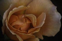 Sp de Rosa rosa do pêssego Close-up da flor da cabeça de flor Fotografia de Stock Royalty Free