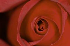 Sp de Rosa vermelha rosa Close-up principal do centro da flor Fotografia de Stock