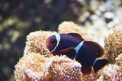 SP del Amphiprion - Clownfish Imagen de archivo