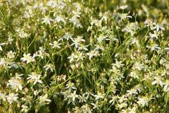 SP del Caryophyllaceae/del Gypsophila. Flores blancas. Imagen de archivo