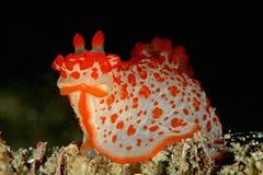 Sp. di Gymnodoris. Fotografie Stock
