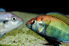 Sp. di Haplochromis vermigli Immagini Stock Libere da Diritti