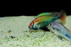 Sp. di Haplochromis vermigli Immagine Stock