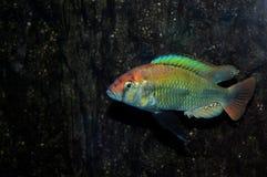 Sp. di Haplochromis vermigli Immagine Stock Libera da Diritti