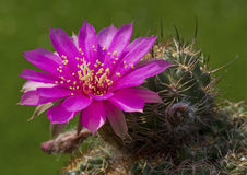 Sp. di sulcorebutia del cactus. Fotografia Stock Libera da Diritti