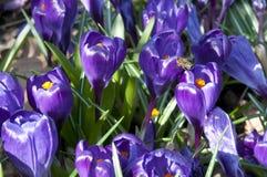 Sp do açafrão do açafrão Suas cores variam enormemente, embora lilás Fotografia de Stock