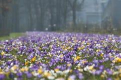 Sp do açafrão do açafrão Suas cores variam enormemente, embora lilás Foto de Stock