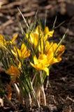 Sp do açafrão do açafrão Suas cores variam enormemente, embora lilás Imagens de Stock