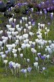 Sp do açafrão do açafrão Suas cores variam enormemente, embora lilás Imagem de Stock Royalty Free