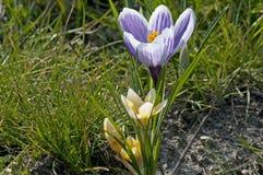 Sp do açafrão do açafrão Suas cores variam enormemente, embora lilás Fotografia de Stock Royalty Free