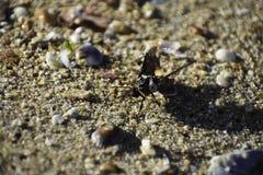 Sp do macroglossum da traça de colibri Emerso da areia molhada da praia, cabo ocidental, África do Sul imagem de stock