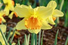 Sp do narciso do narciso amarelo Na flor Foto de Stock