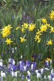 Sp do narciso do narciso amarelo é na maior parte mola-florescer, bulbosa por Fotos de Stock Royalty Free