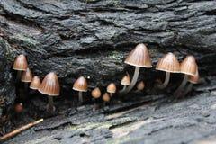 SP fungoso australiano de Mycena Imagenes de archivo