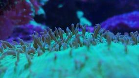 Sp Galaxea , кораллы большого полипа acropids каменистые сток-видео