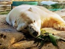sp?jrz biegunowy bear zdjęcie royalty free