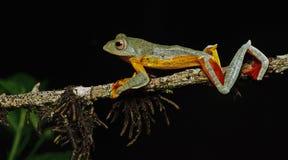 Sp Khao Yai TreefrogRhacophorus , Красивая лягушка, древесная лягушка, древесная лягушка на ветви Стоковое Изображение RF