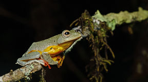 Sp Khao Yai TreefrogRhacophorus , Красивая лягушка, лягушка, древесная лягушка, древесная лягушка на ветви Стоковые Изображения RF