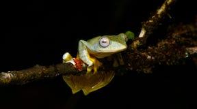Sp Khao Yai TreefrogRhacophorus , Красивая лягушка, лягушка, древесная лягушка, древесная лягушка на ветви Стоковое Фото